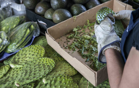 Nopal: Mexico's 'Green Gold'